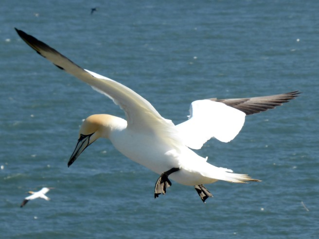 Northern gannet - Morus bassanus - Bempton Cliffs