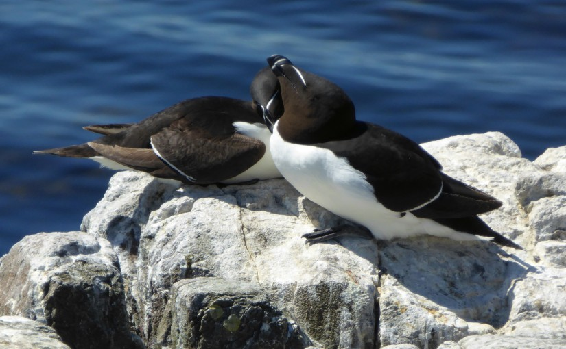 Farne Islands (3) –Razorbills